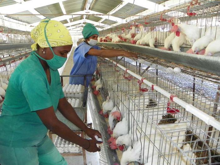 Pese a decrecimiento productivo, garantizan en Camagüey huevos de la canasta normada