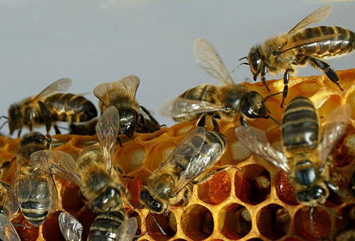 Cuba implementa proyecto de investigación-desarrollo para obtener abejas más productivas