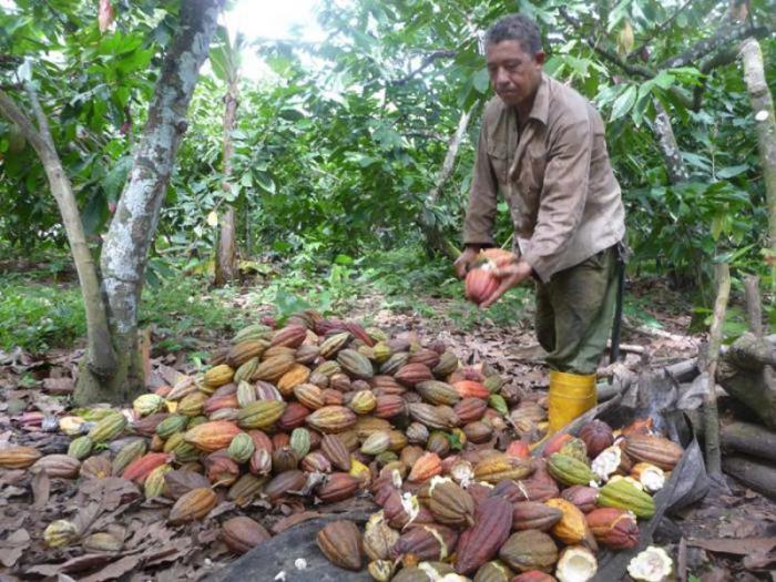 logra baracoa cosecha hist243rica de cacao � cuba � granma
