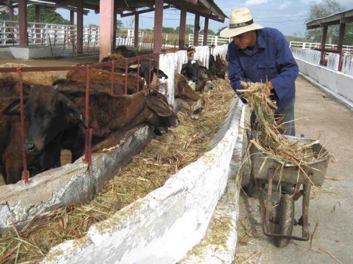 L'élevage à Camagüey travail pour élever la productivité