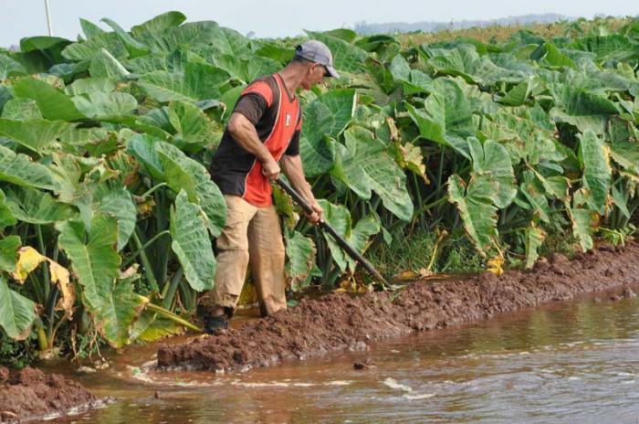 Empresa Agropecuaria Horquita-Hay sembradas 413 nuevas hectáreas de malanga