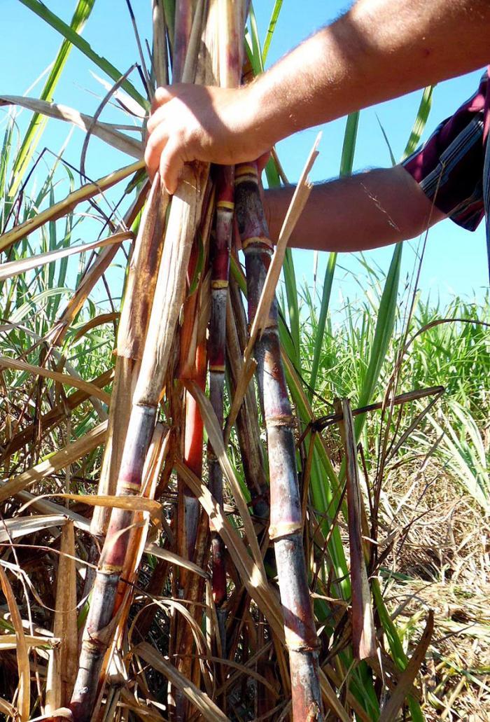 Zafra cubana puede producir más azúcar