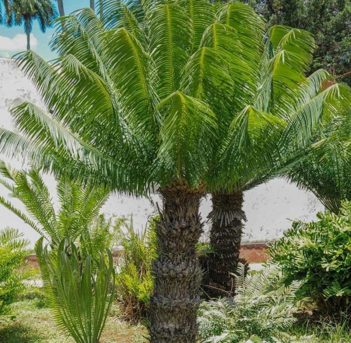 Un muestrario de la flora cubana y mundial cuba granma for Vegetacion ornamental