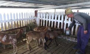 Las plantas proteicas y los desechos de cosechas se aprovechan también para alimentar los carneros y los conejos. Las plantas proteicas y los desechos de cosechas se aprovechan también para alimentar los carneros y los conejos.