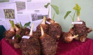El cultivo de la malanga constituye un pilar a partir de sus potencialidades para enfrentar el cambio climático.