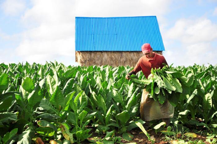 Espirituanos defienden sus vegas hasta con las uñas › Cuba › Granma ...