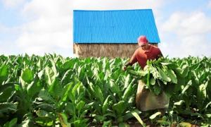 Cosecha de tabaco en Taguasco