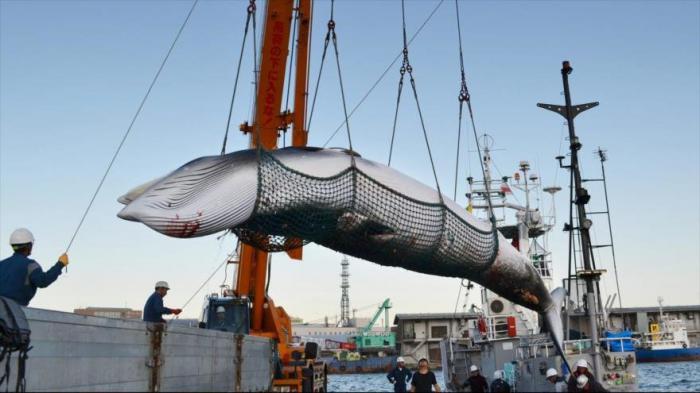 Anunció Japón que retomará caza indiscriminada de ballenas en los océanos