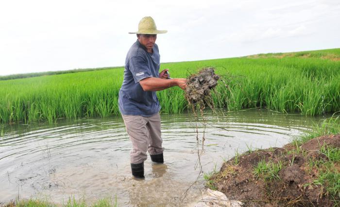Granma reordena recursos y estrategias para respaldar producción de arroz