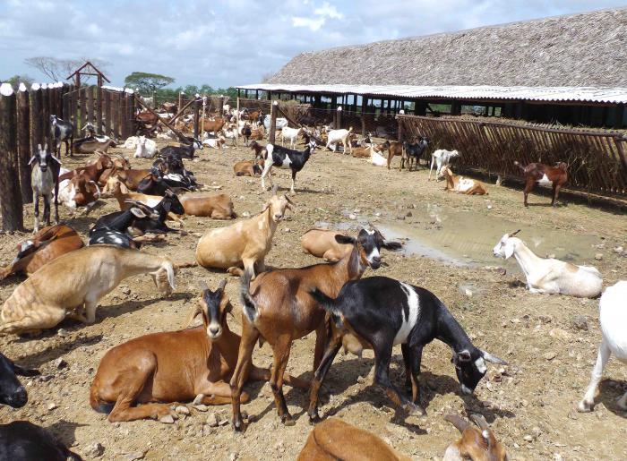 Estimulan en Camagüey el incremento de la cría de cabras