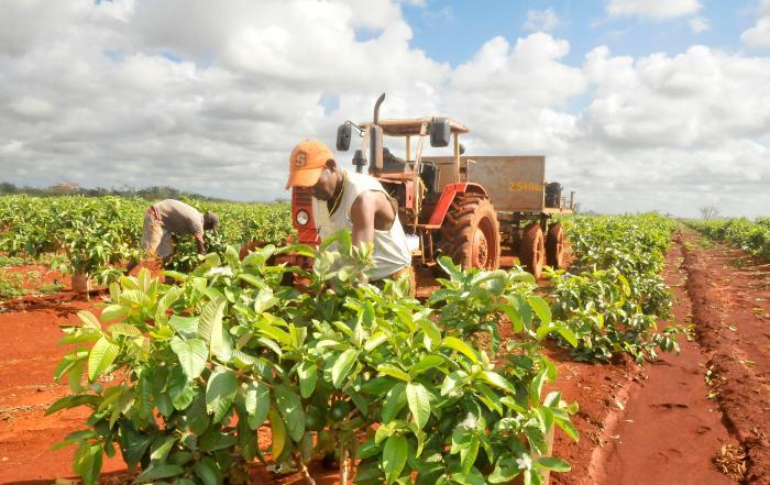 La Agricultura da empleo a más de 800 mil cubanos