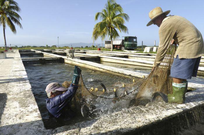 Incrementa empresa arrocera de  Granma la producción de peces para el consumo de la población