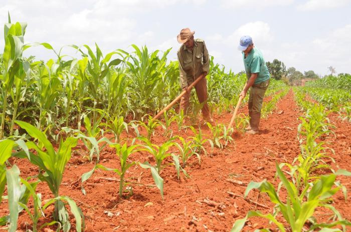 Machado Ventura llamó a alcanzar producciones superiores en cultivos como el maíz