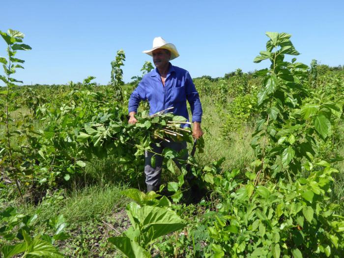 Plantas proteicas para alimentación de los animales, una urgencia por consolidar en Cuba (+ Tuit)