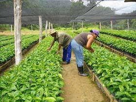 Aplican nuevos injertos de variedades de caf en el escambray for Vivero de cafe pdf